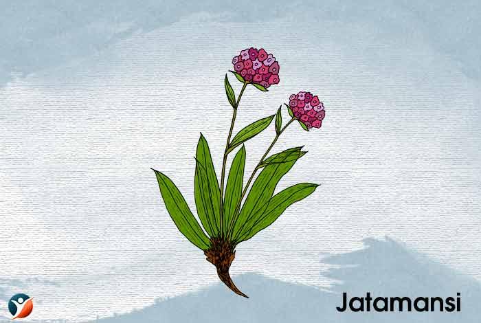 Jatamansi